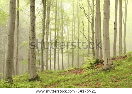Spring deciduous forest surrounded by mist with beech trees growing on the slope. - stock photo
