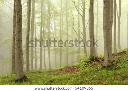 Spring deciduous forest surrounded by mist with beech trees in the foreground. - stock photo