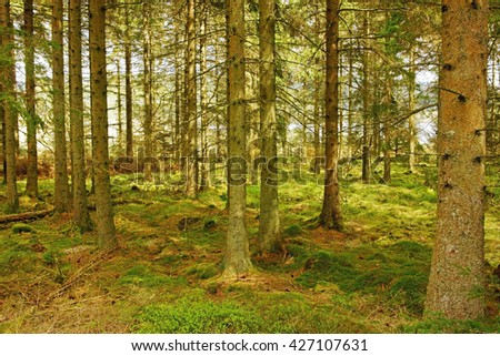 Spring, deep inside the Spruce trees of Kielder Forest, the largest wooded area in Northumberland National Park, England, UK