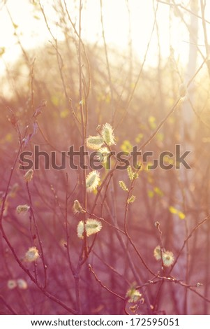 spring evening - shallow DOF contre-jour light natural background with pussy willow branches - stock photo