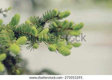 Spring evergreen pine tree branch. Circle of life. Copyspace.