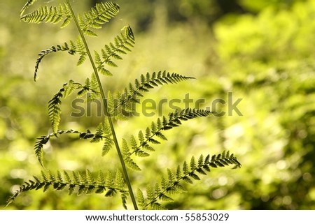 Spring fern in the forest backlit by the morning sunlight. - stock photo