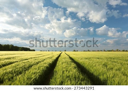 Spring field of grain. - stock photo