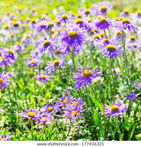 Spring field of violet fresh daisies/ Natural  landscape - stock photo