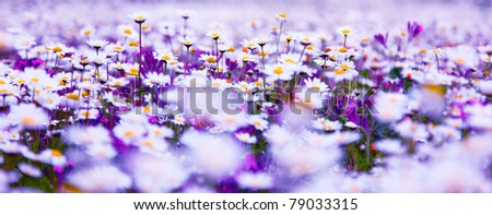 Spring field of white fresh daisies, natural panoramic landscape