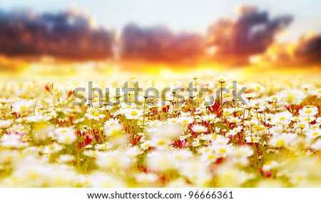 Spring field of white fresh daisies, natural panoramic landscape over sunset sky background - stock photo