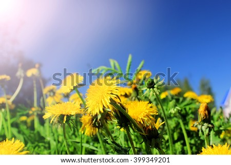 Spring field with dandelions on bright sunny day. - stock photo