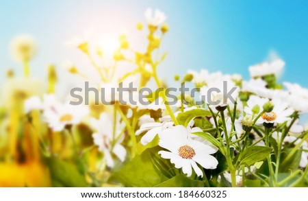 Spring field with flowers, daisy, herbs. Sun shining on blue sky - stock photo