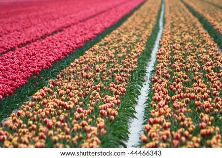 Spring field with red and red-and-yellow tulips somewhere in the Netherlands.