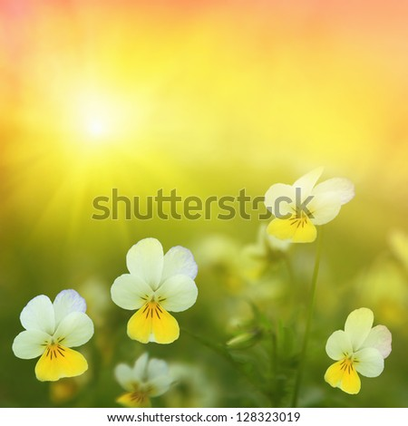 Spring field with wild pansies at sunrise. - stock photo