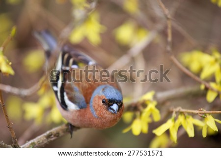 Spring. Finch (lat.(Fringilla coelebs)  sitting on a branch forsythia. Selective focus on the bird's head. - stock photo