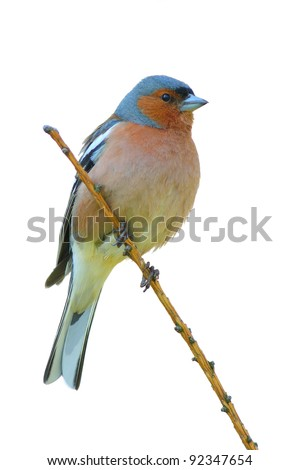 spring finch on a branch , white isolated - stock photo