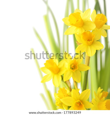 Spring floral border, beautiful fresh narcissus flowers, isolated on white background - stock photo