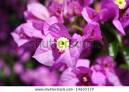 Spring Flower and ants - Bouganvilla - stock photo