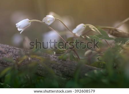 spring flower Anemone - stock photo