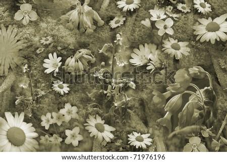 Spring Flower Background, Sepia - stock photo