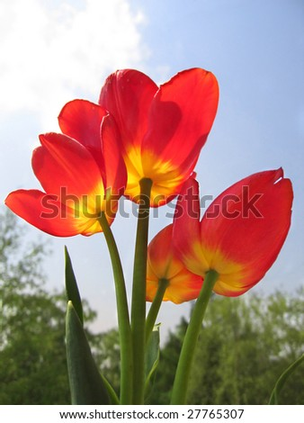 Spring flower - bouquet of red tulips on the background of sky