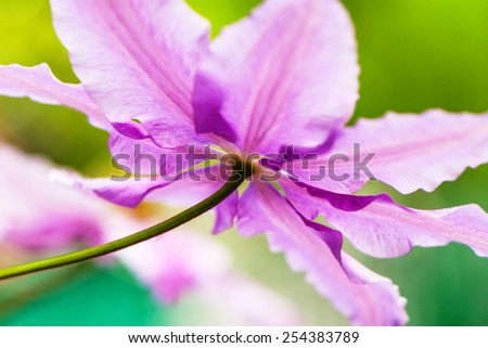 spring flower clematis on green background closeup - stock photo