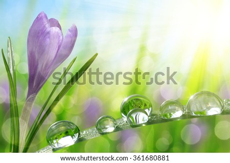 Spring flower Crocus and green grass with water drops. Nature background. - stock photo