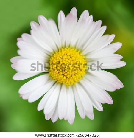 Spring flower Daisy extreme macro shot - stock photo