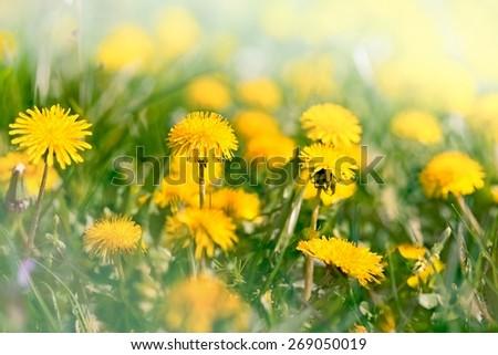 Spring flower - dandelion flowers in meadow - stock photo