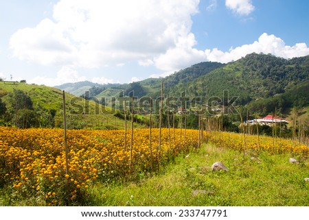 Spring flower field and blue sky in northern of Thailand - stock photo