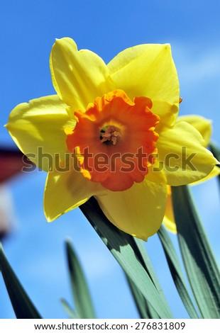 Spring flower Narcissus, Omsk region, Russia, Siberia - stock photo
