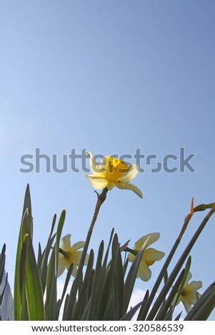 Spring flower - narcissus on a background of blue sky - stock photo