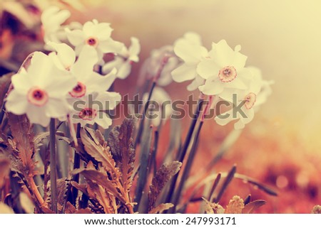 spring flower nature background/ narcissus flowers - stock photo