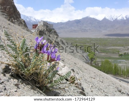 Spring flower on a barren hillside with a Buddhist monastery in the background, Ladakh, India. - stock photo
