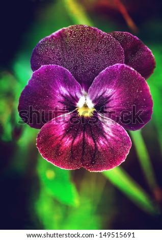 Spring flower pansy (viola) - stock photo