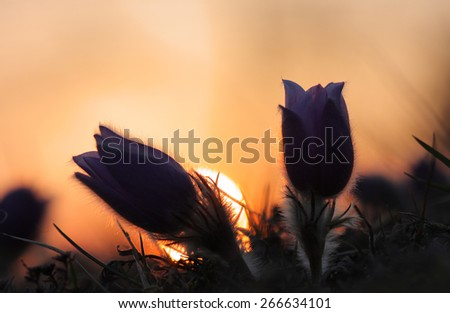 Spring flower Pasqueflower- Pulsatilla grandis, silhouette of two  purple flowers, on background sunset on meadow - stock photo