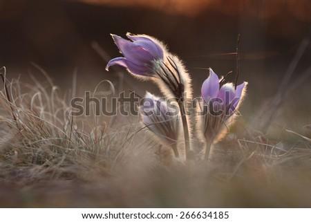 Spring flower Pasqueflower- Pulsatilla grandis, three purple flowers with sunshine , on background sunset on meadow - stock photo