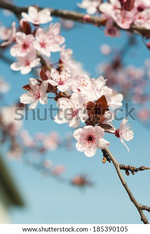 Spring flower, peach blossoming - stock photo