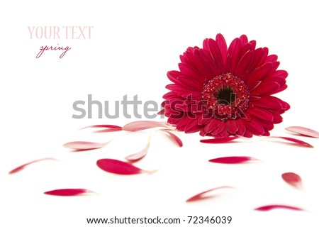 spring flower - pink gerber and petals - stock photo