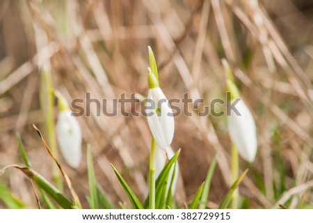 spring flower primrose, snowdrop bud blooming in the sun - stock photo
