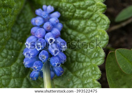 Spring flower. Violet flower close up. Mountain flower. Spring flowering meadows. Grape hyacinth. - stock photo