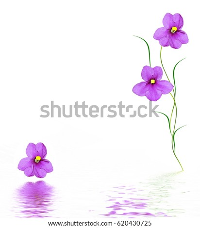 Spring flower violet isolated on white background