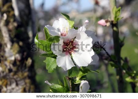 Spring flowering almond tree in the garden - stock photo
