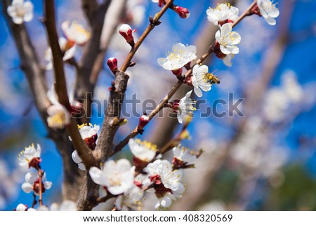 Spring Flowering branch. Cherry Blossom. Apricot tree flower with buds blooming at sptingtime. White flowers on tree branch. selective focus, photo light spring