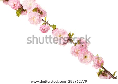 Spring flowering branch on white background - stock photo