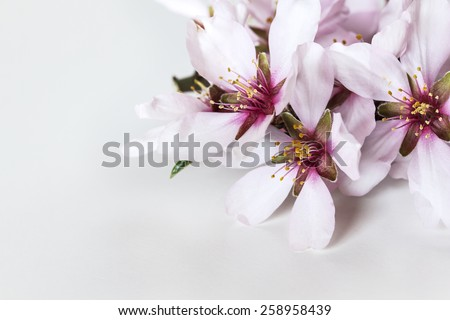 Spring flowering branches, almond tree flowers on white background, copy space - stock photo