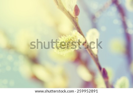 Spring flowering branches of willow. - stock photo