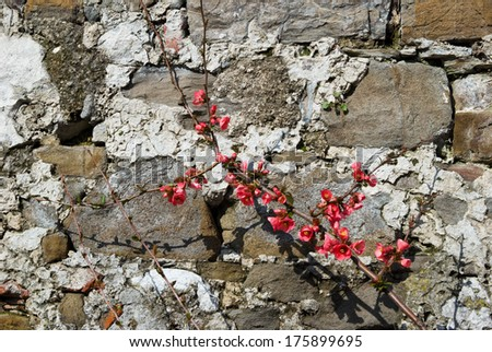 spring flowering branches on a background of a stone wall - stock photo