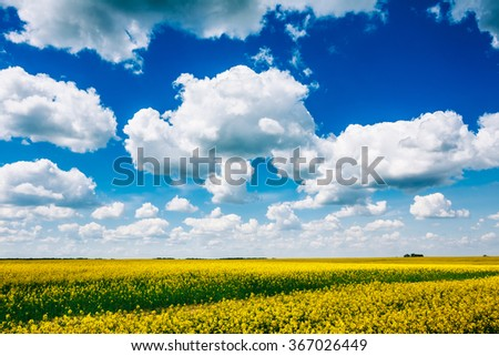Spring. Flowering Canola, Rape Rapeseed, Oilseed Field Under Blue Sky. Agricultural Background. - stock photo