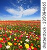 Spring flowering. Huge fields of large colorful buttercups and ranunculus grow in kibbutz in southern Israel. - stock photo