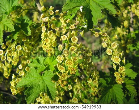 Spring flowering of currant close-up - stock photo