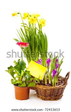 Spring flowering plants with a blank greeting card, isolated