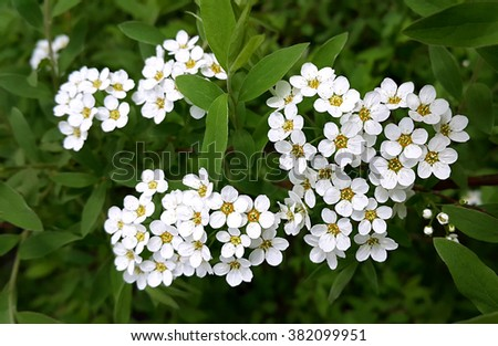 Spring flowering shrub with white flowers - stock photo