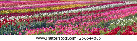 Spring-flowering time beautiful garden flowers, tulips, fiery colors that glow in the fields on the background of the surrounding countryside, and pleasing look, and bring a good profit owners. - stock photo